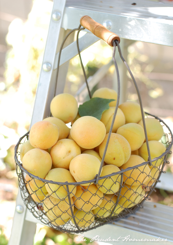 Apricots in Wire Basket The Prudent Homemaker