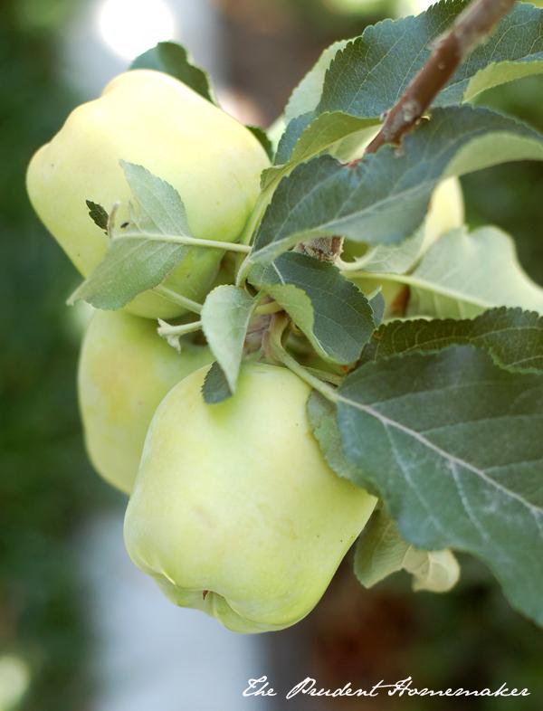 Dorsett Golden Apples The Prudent Homemaker