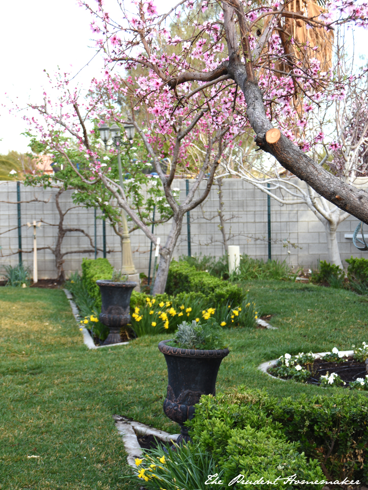 Garden in March Peaches and Daffodils The Prudent Homemaker