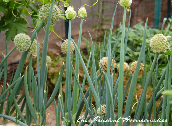 Green Onion Row The Prudent Homemaker