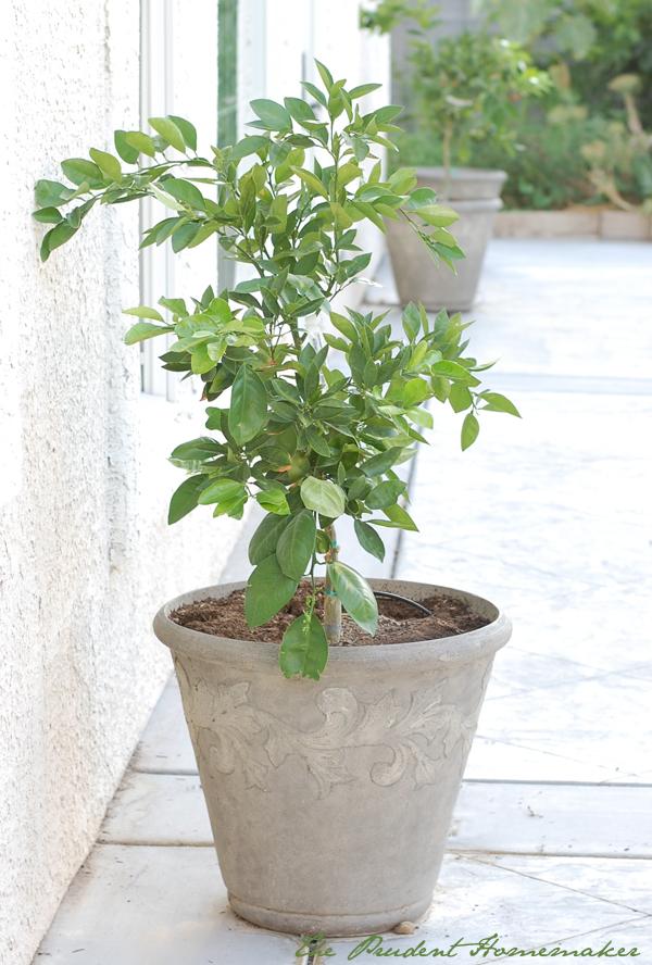 Orange Trees in Pots The Prudent Homemaker