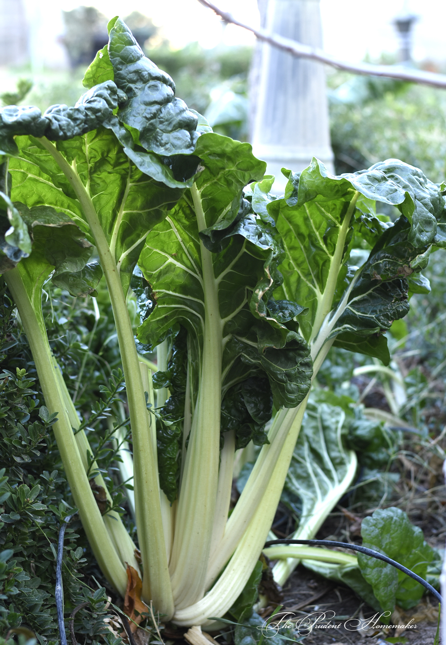 Swiss Chard in the Garden The Prudent Homemaker