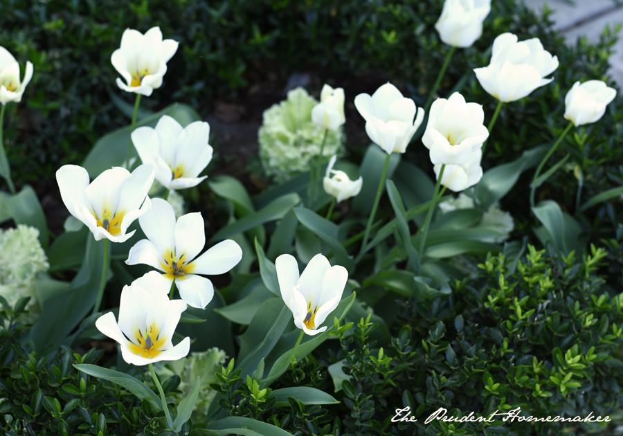 Tulips 2 The Prudent Homemaker