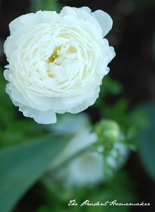 White Garden in April Ranunculus 2 The Prudent Homemaker