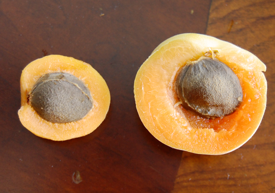 apricot thinning