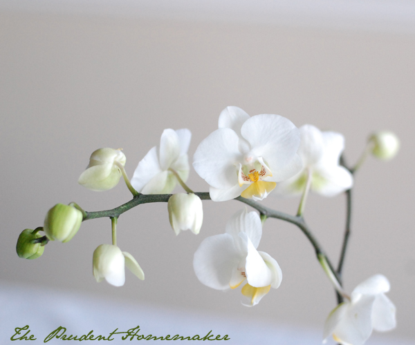 Orchid 4 The Prudent Homemaker