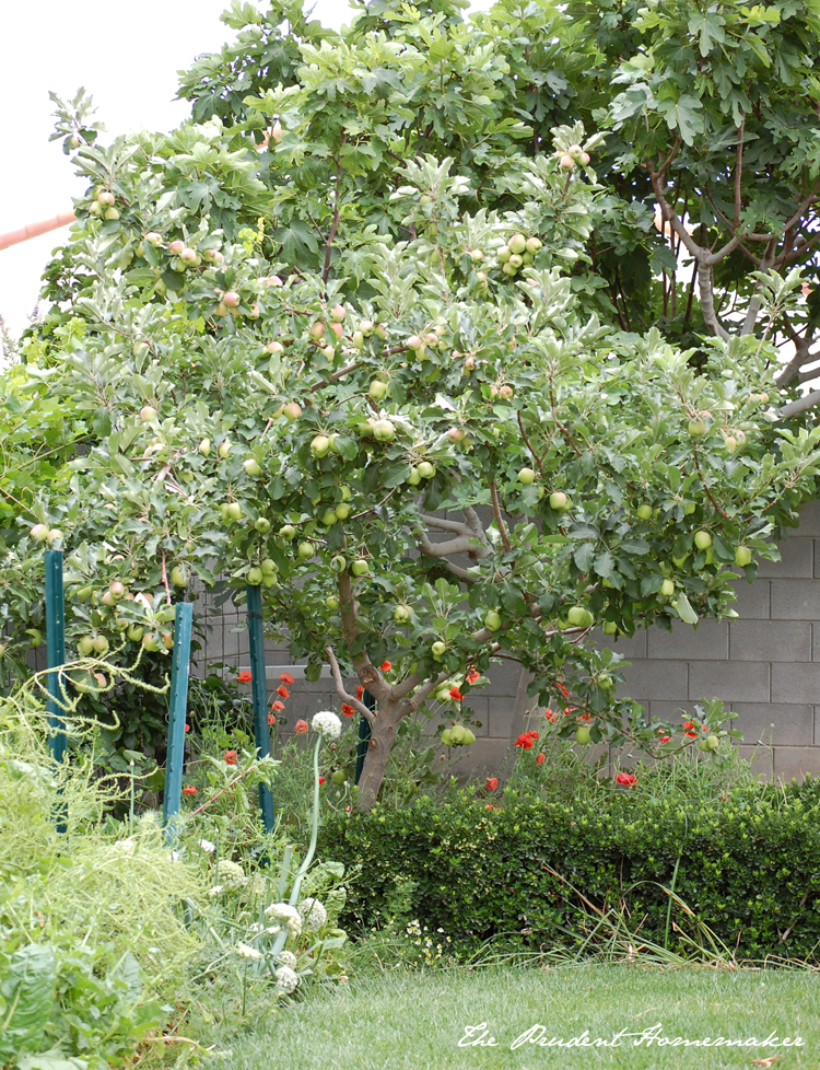 Dorsett Golden Apple and Poppies The Prudent Homemaker