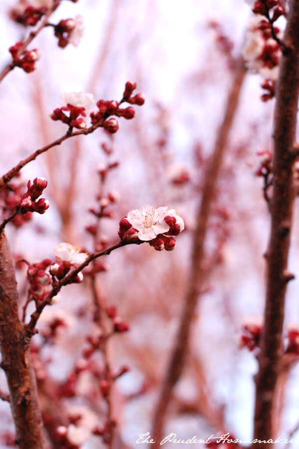 Apricot Blossoms During Sunset The Prudent Homemaker