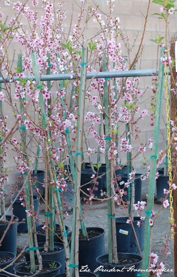 Fruit Trees at the Nursery The Prudent Homemaker