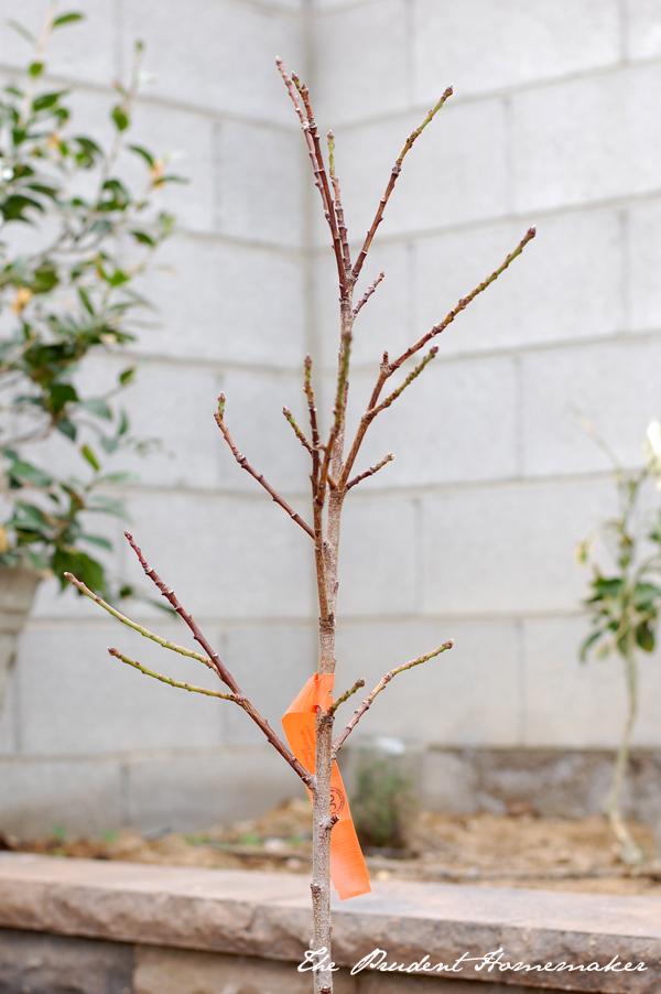 Peach tree in dormancy The Prudent Homemaker