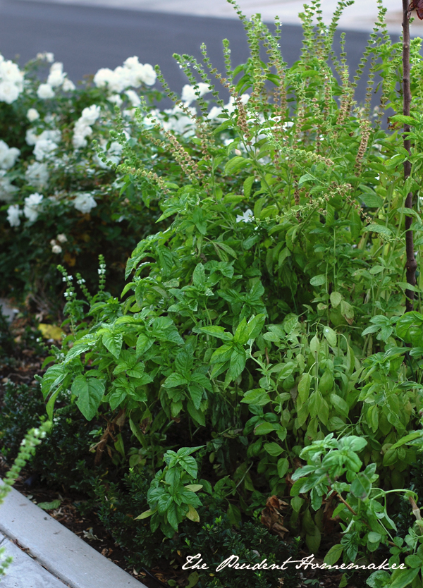 Basil in the garden The Prudent Homemaker