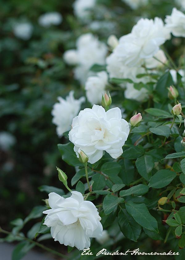 White Roses in November The Prudent Homemaker