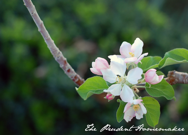 Dorsett Golden Apple Blossoms The Prudent Homemaker