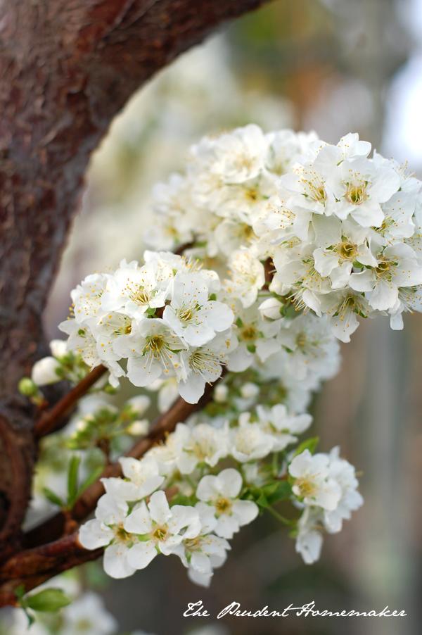 Plum Blossoms The Prudent Homemaker