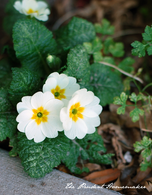 Primroses The Prudent Homemaker