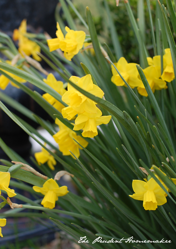 Dafodils in the garden The Prudent Homemaker