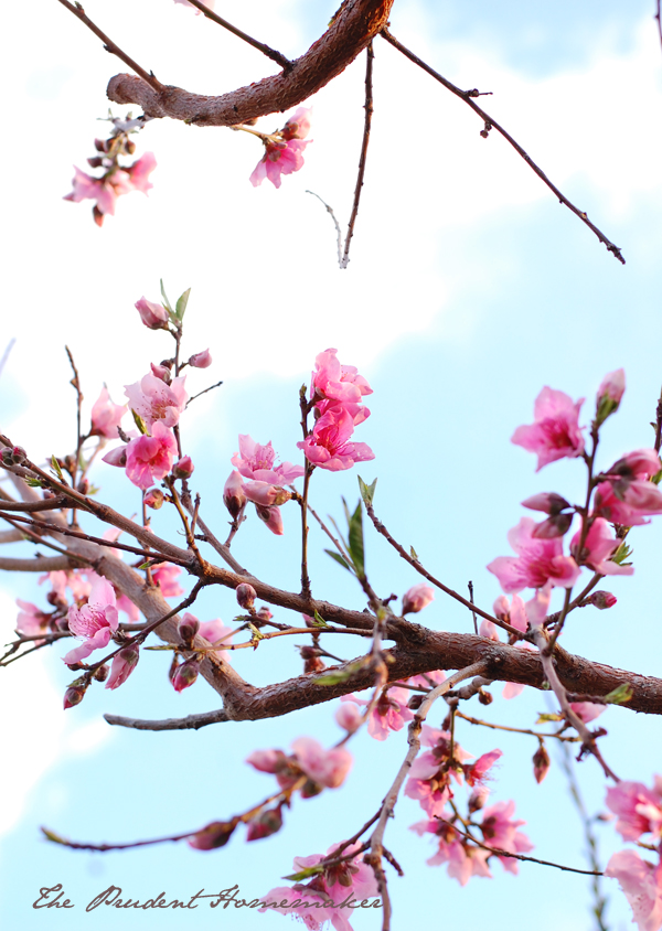 Peach blossoms The Prudent Homemaker