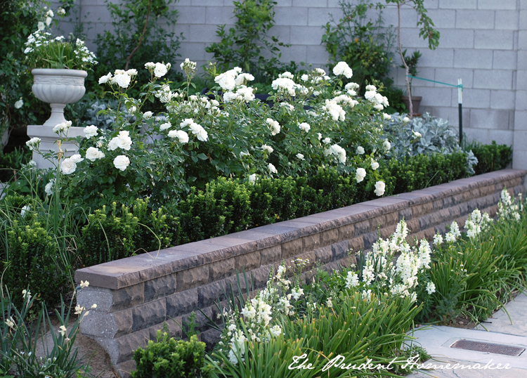 Iceberg Roses and Snapdragons in the White Garden