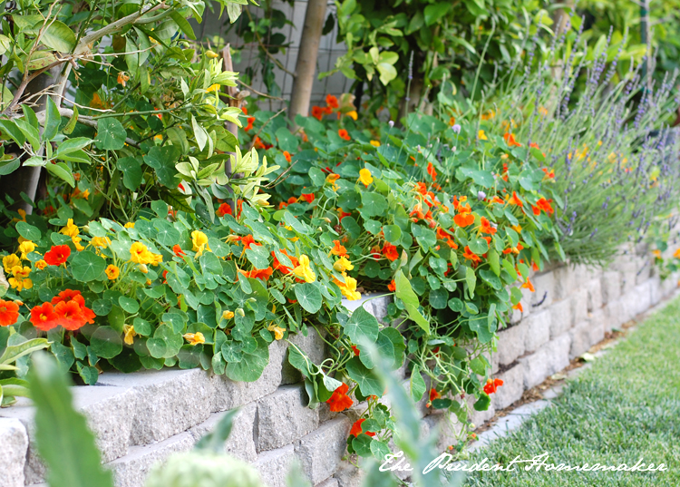 Nasturiums and Lavender in the Garden The Prudent Homemaker