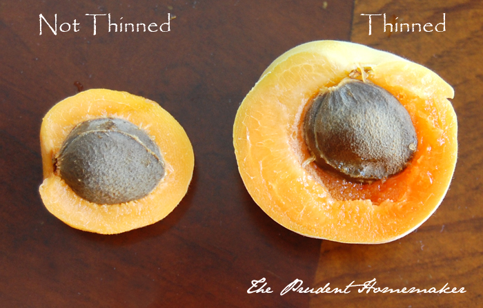 Thinned and Unthinned Apricots The Prudent Homemaker
