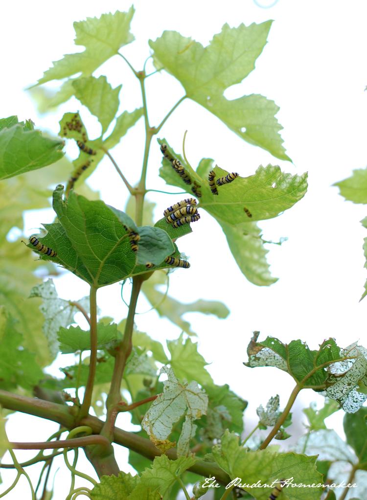 Grape Leaf Skeletonizers 1 The Prudent Homemaker