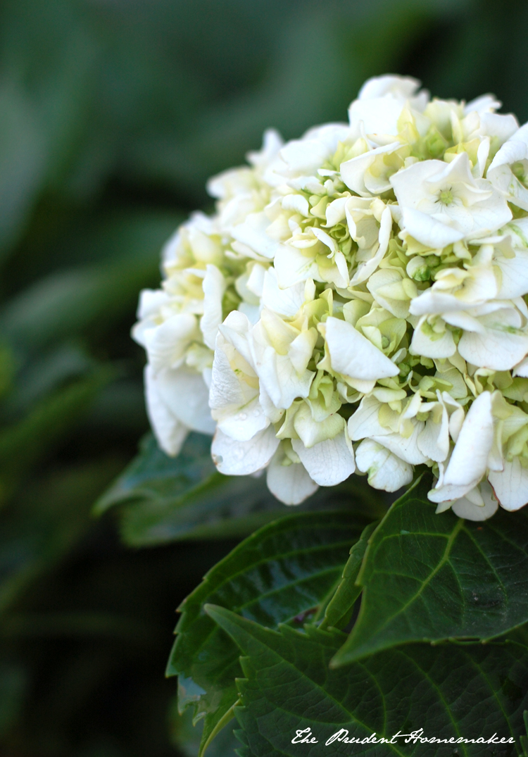 Hydrangea The Prudent Homemaker