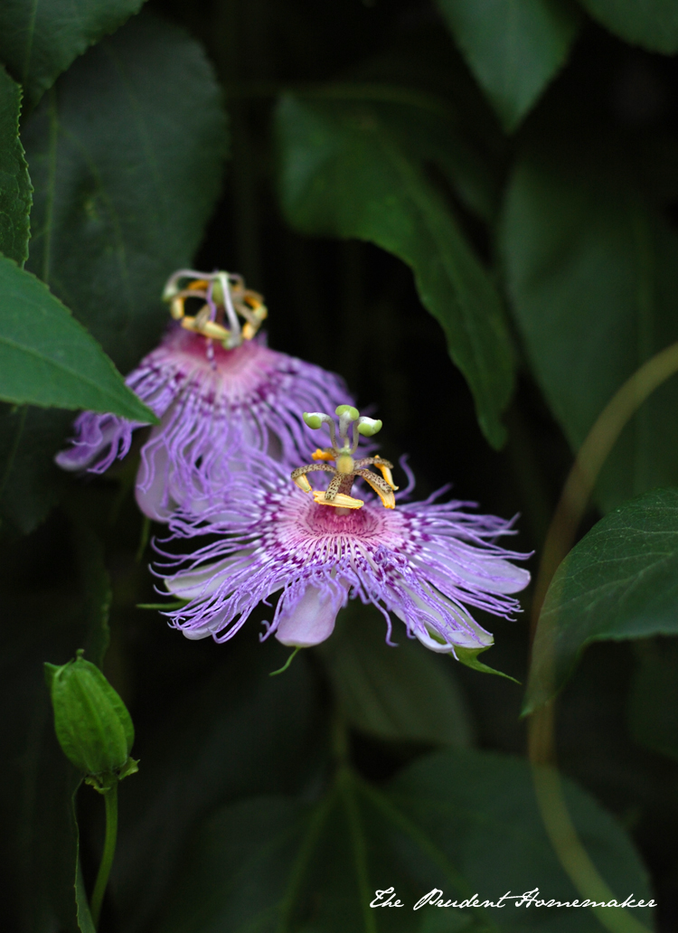 Passionfruit Flowers The Prudent Homemaker