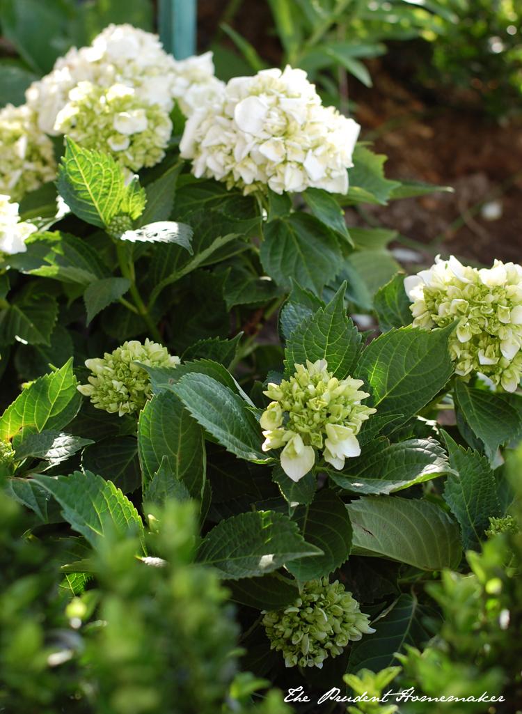 White Hydrangeas 1 The Prudent Homemaker