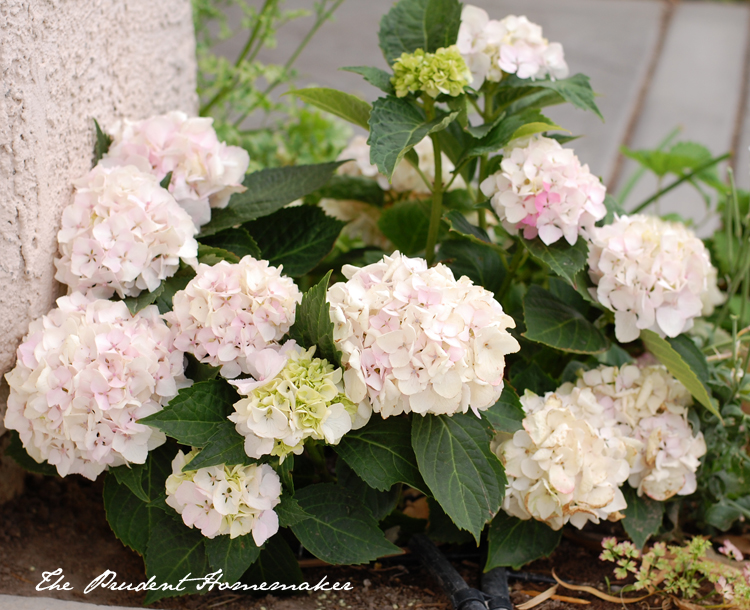 Hydrangea changing The Prudent Homemaker