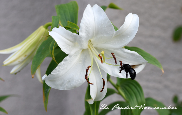 The Lily and the Bee The Prudent Homemaker