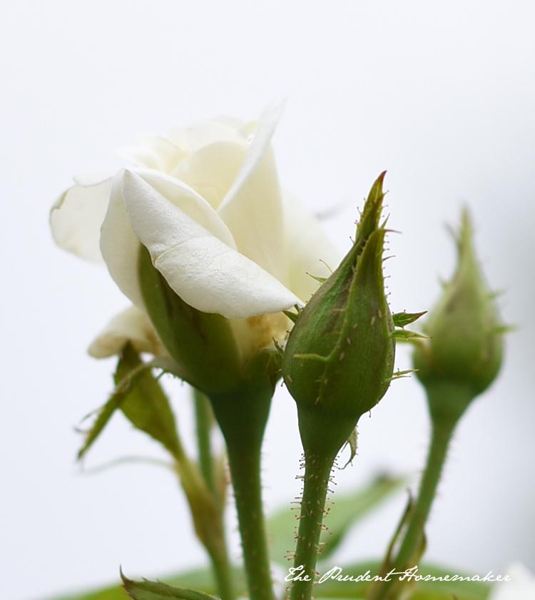 White Rosebud The Prudent Homemaker
