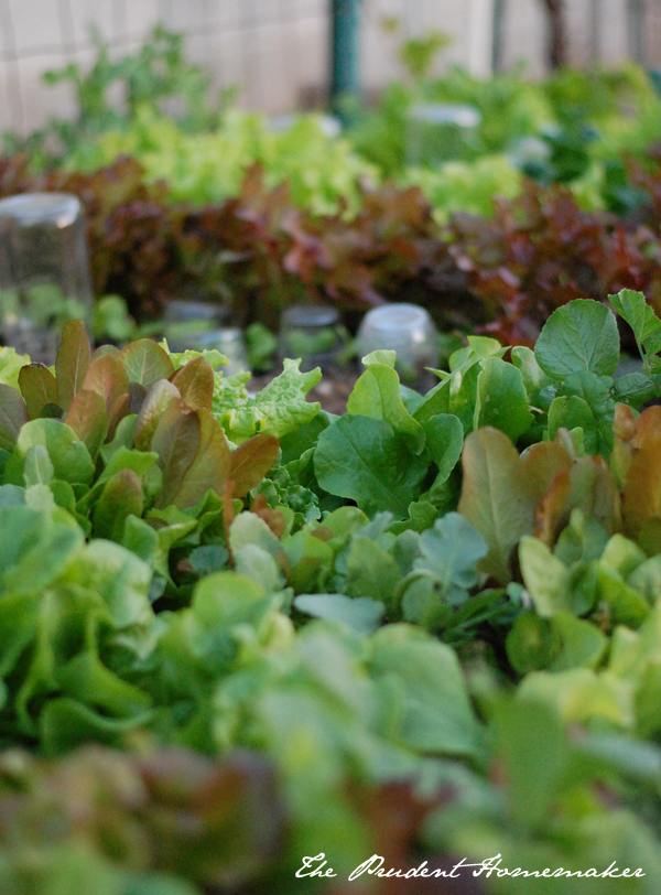 Lettuce in the Raised Bed The Prudent Homemaker