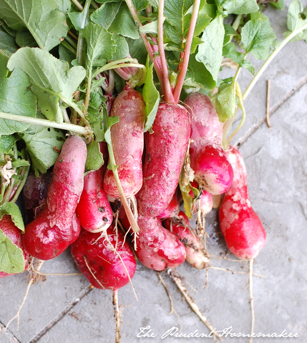 Radishes 1 The Prudent Homemaker