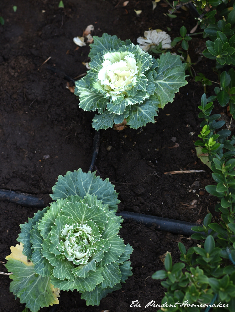 Winter White Garden Cabbages The Prudent Homemaker