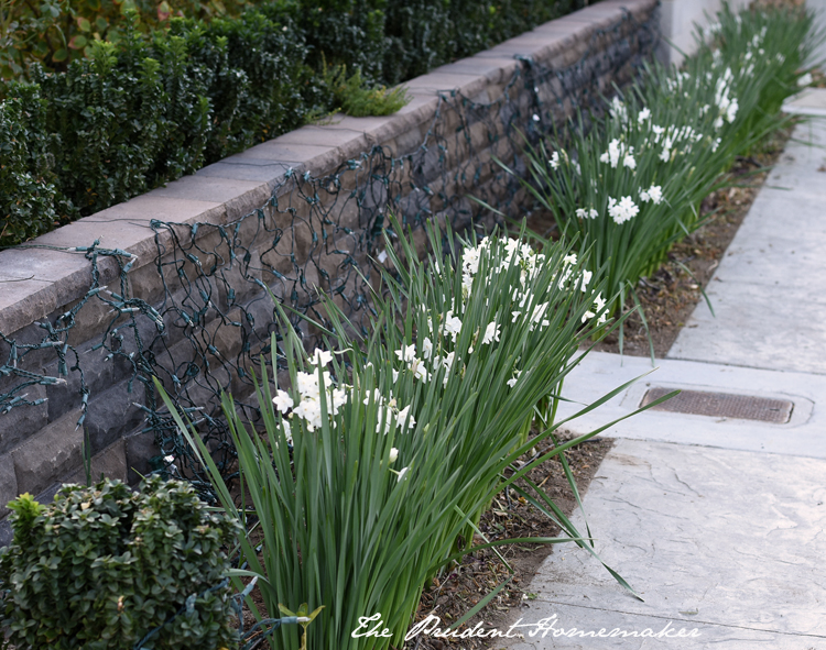 Winter White Garden Paperwhites The Prudent Homemaker