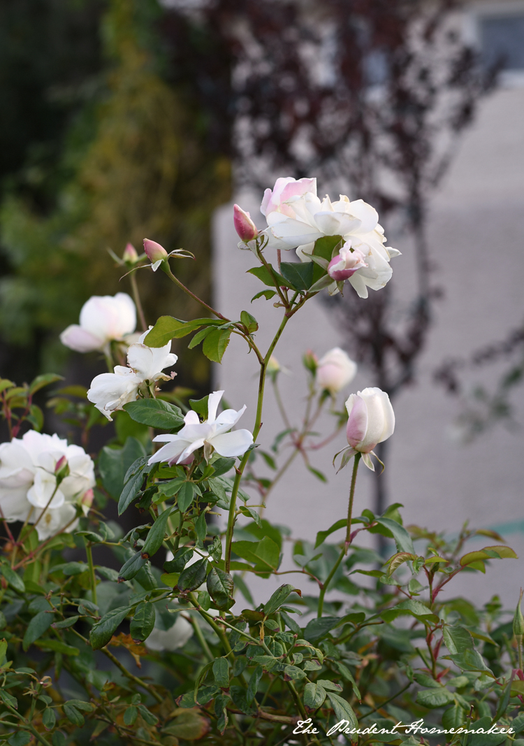 Winter White Garden Roses 2 The Prudent Homemaker