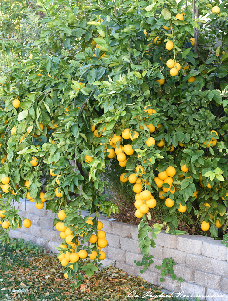 Meyer Lemon Tree The Prudent Homemaker