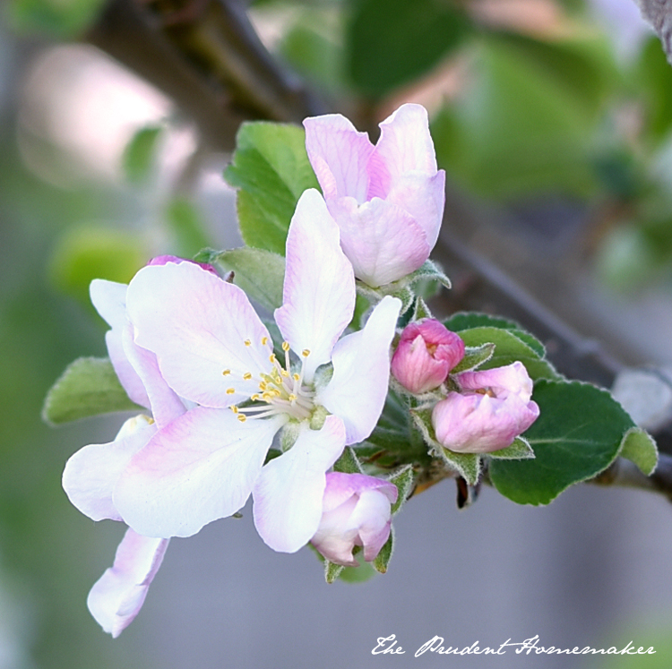 Apple Blossoms The Prudent Homemaker