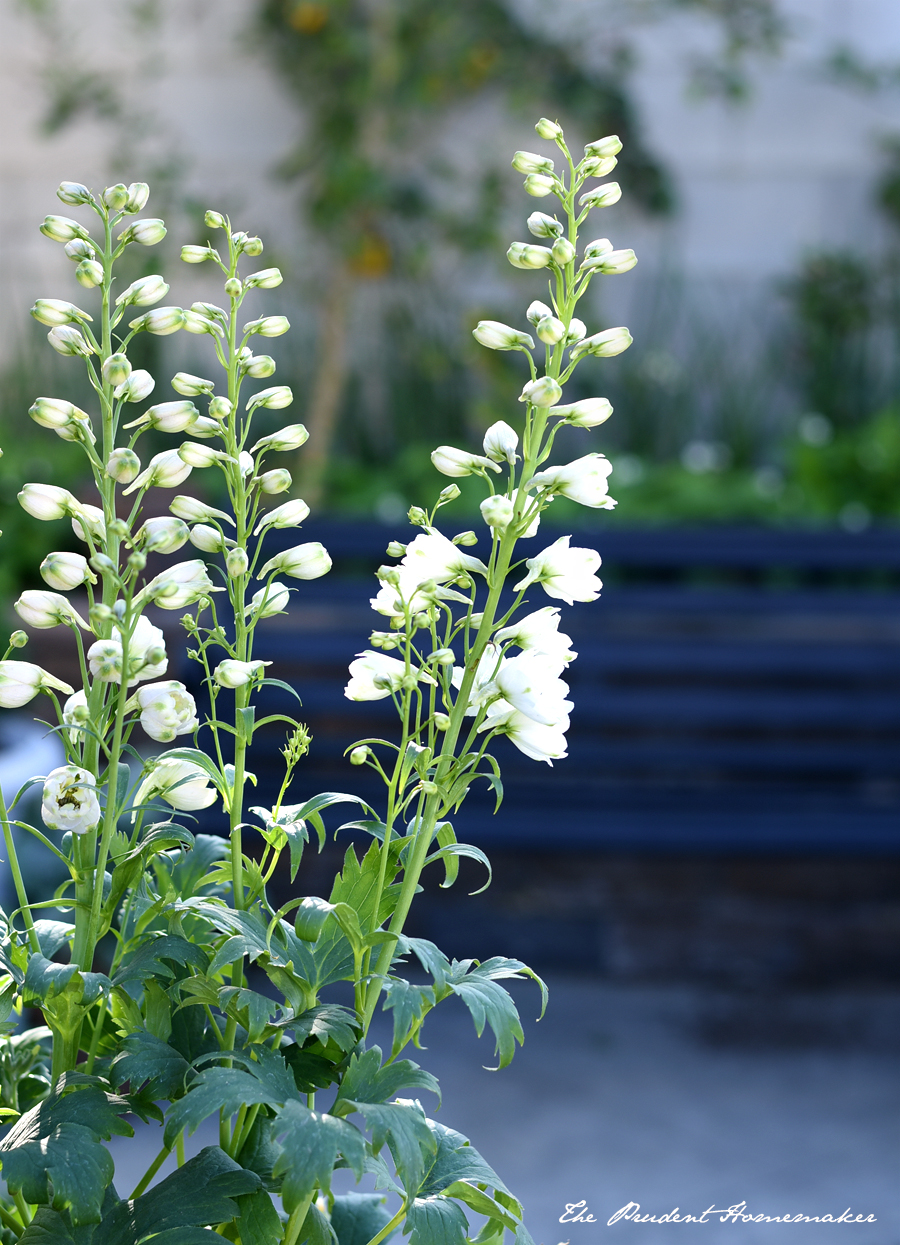 Delphiniums The Prudent Homemaker
