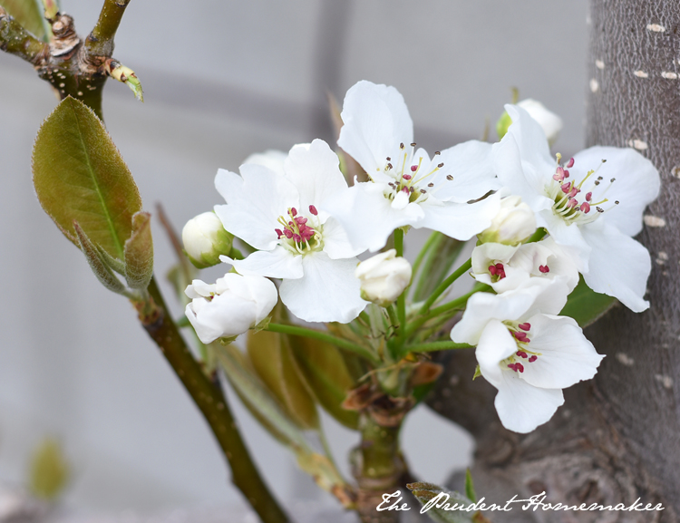 Garden in March Asian Pear Blossoms The Prudent Homemaker