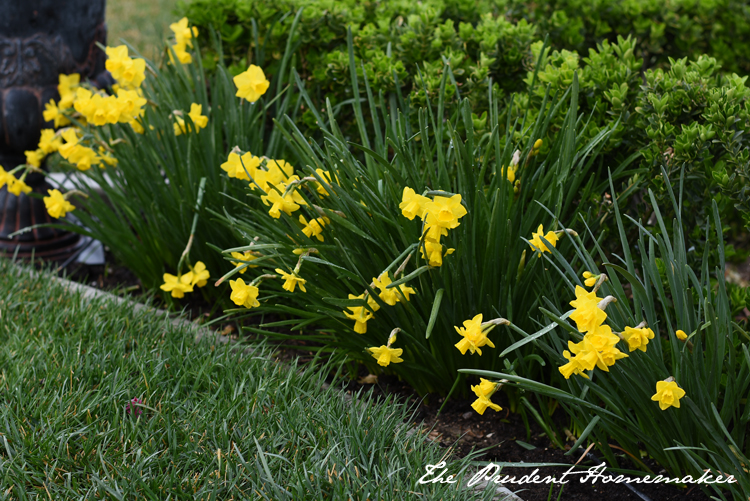 Garden in March Daffodils The Prudent Homemaker