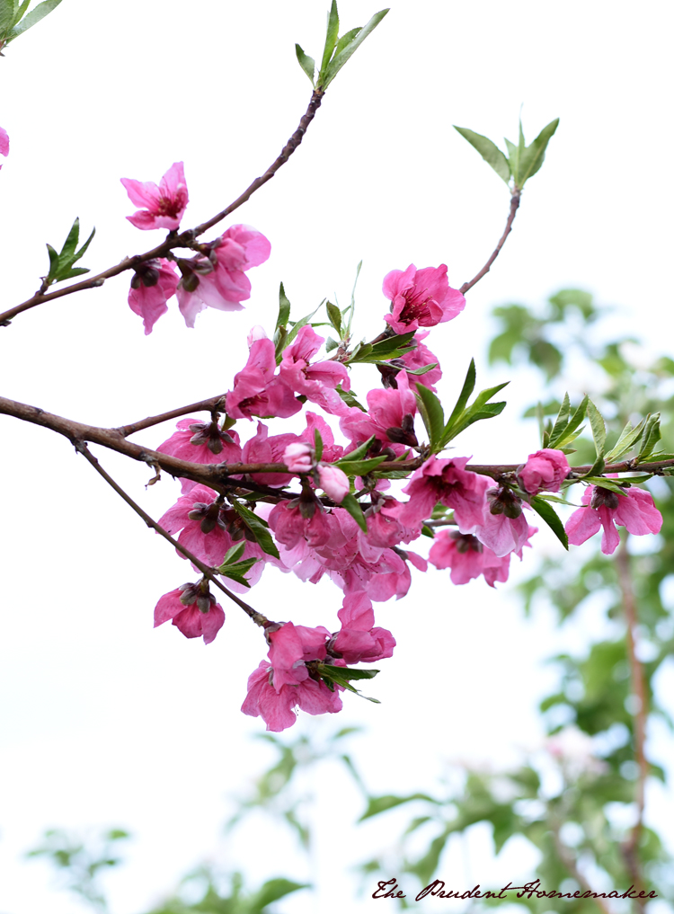 Garden in March Peach Blossoms The Prudent Homemaker