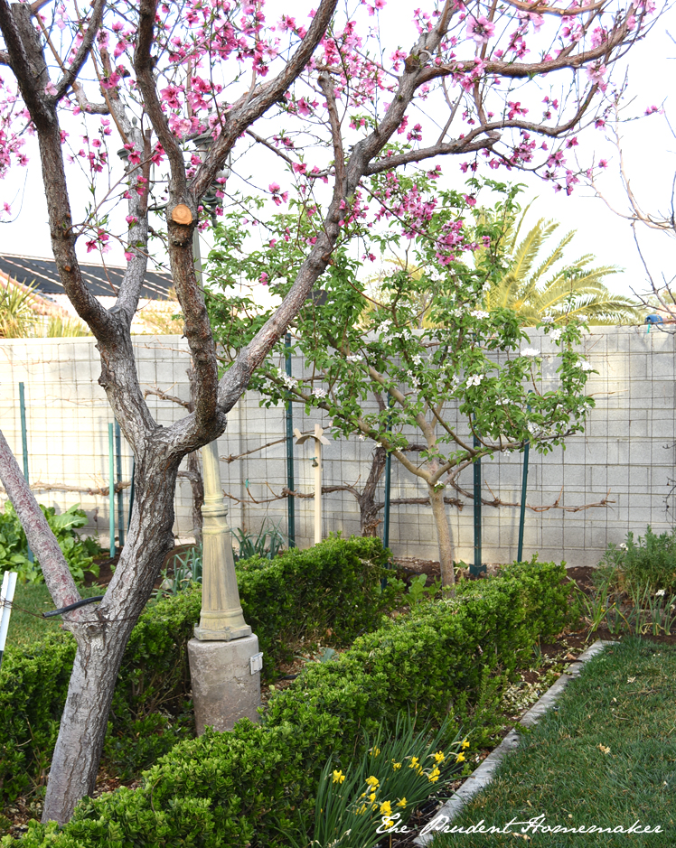 Garden in March Peach and Apple Trees The Prudent Homemaker