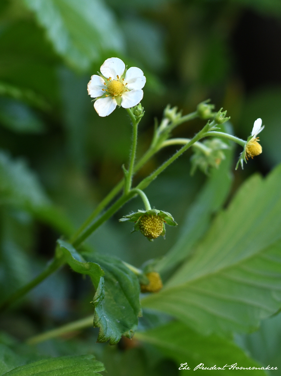 Strawberry Blossoms The Prudent Homemaker