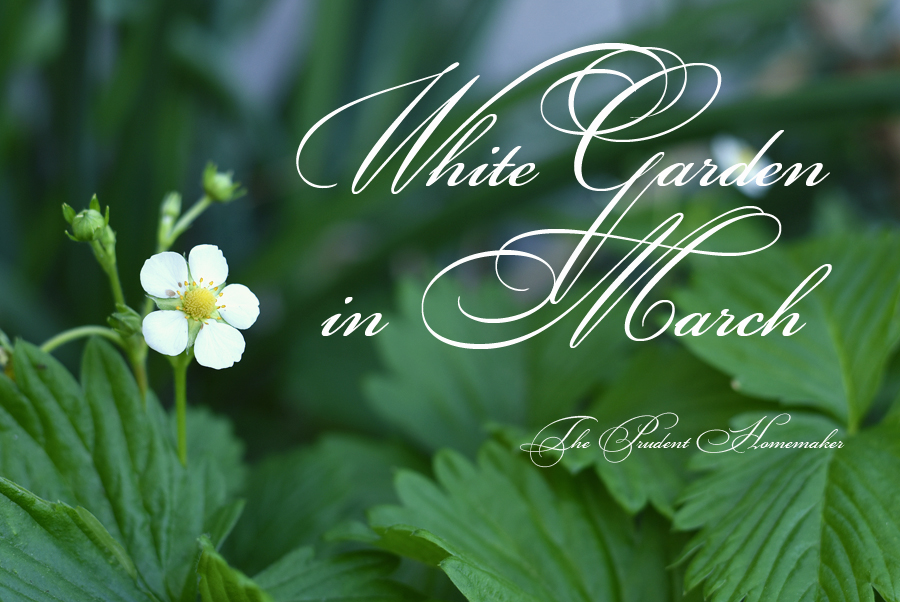 White Garden in March Strawberry Blossom The Prudent Homemaker