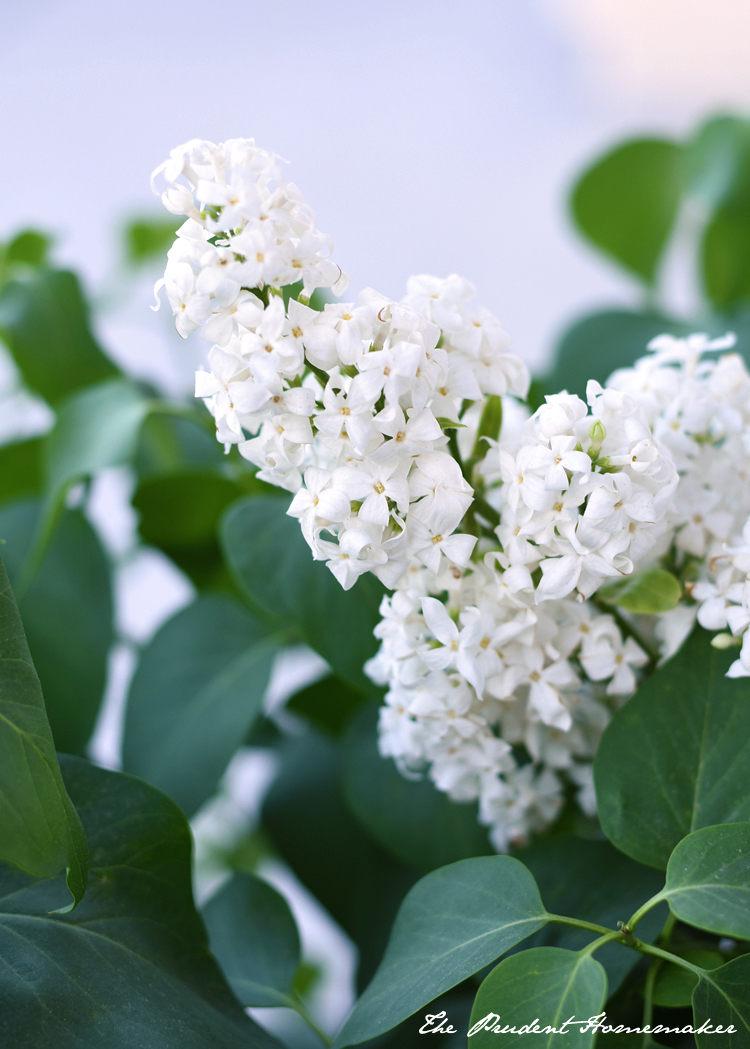 White Lilac The Prudent Homemaker