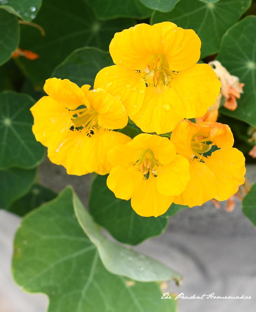 April Yellow Nasturium The Prudent Homemaker