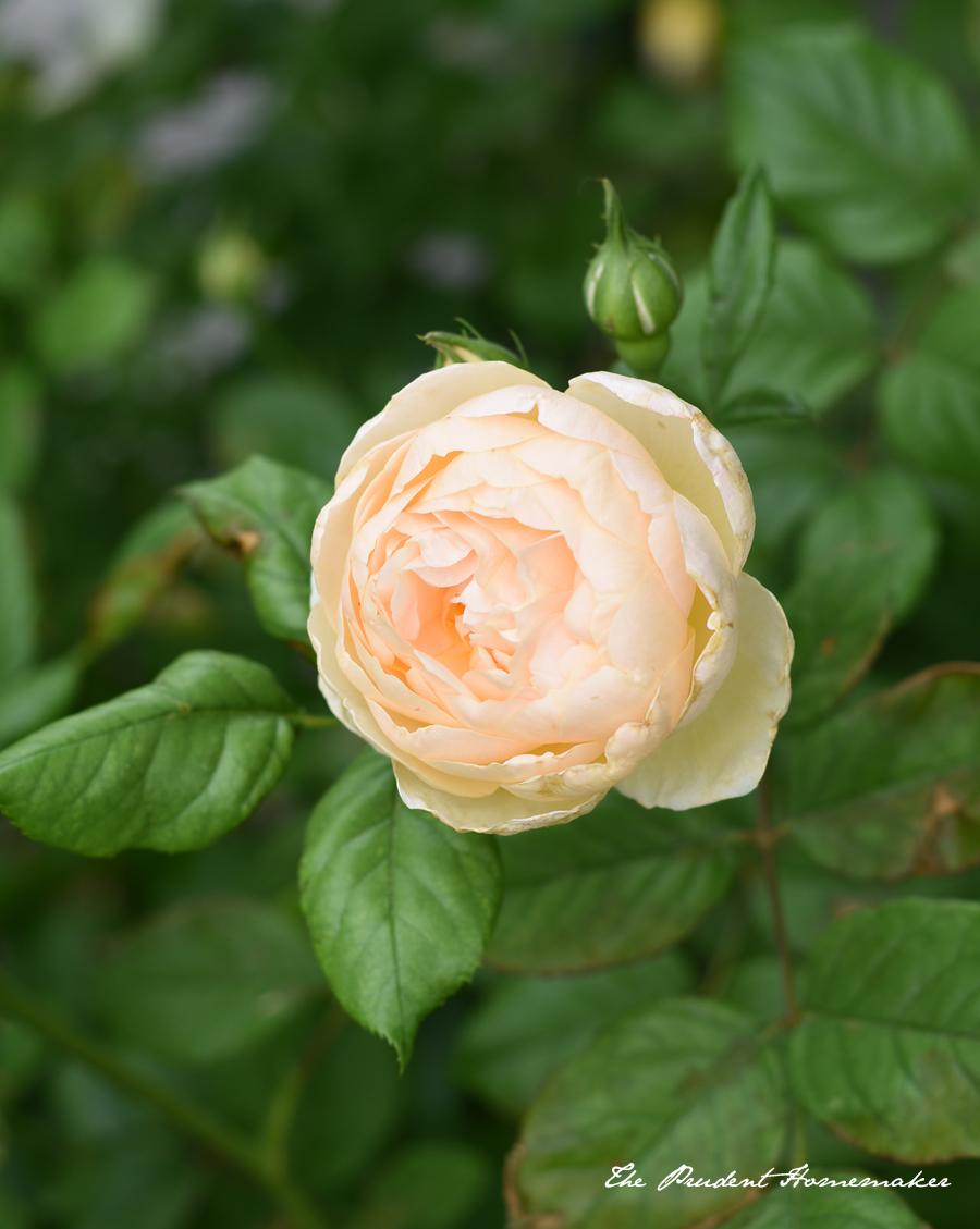 The Shepherdess Rose The Prudent Homemaker