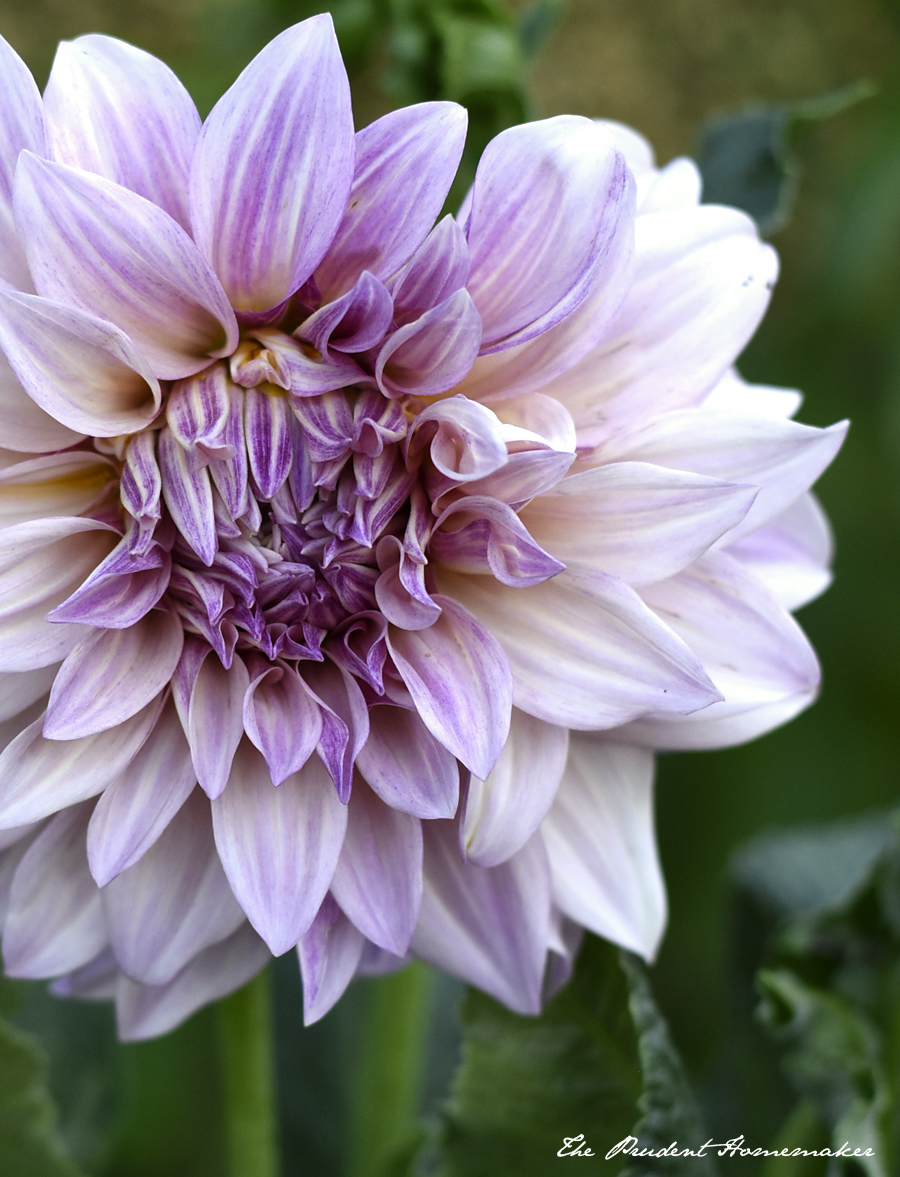 Cafe au Lait Dahlia The Prudent Homemaker