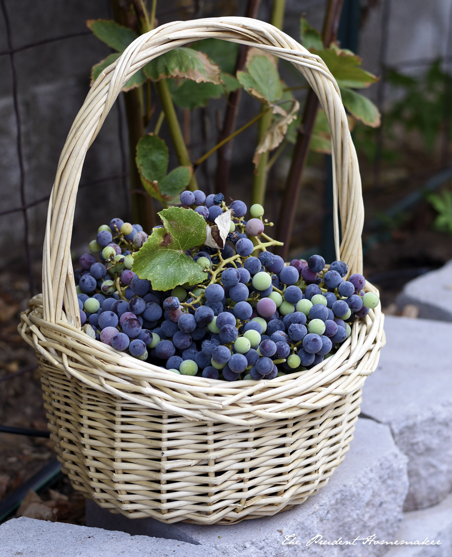Concord Grapes The Prudent Homemaker